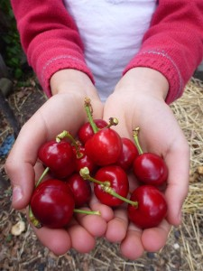 our very first cherries