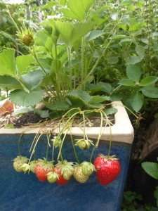Strawberries ripening nicely.